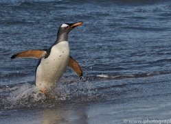 gentoo-penguin-copyright-photographers-on-safari-com-9141