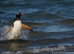 gentoo-penguin-copyright-photographers-on-safari-com-9142