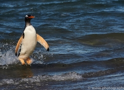 gentoo-penguin-copyright-photographers-on-safari-com-9143