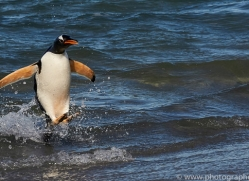 gentoo-penguin-copyright-photographers-on-safari-com-9144