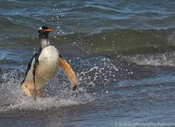 gentoo-penguin-copyright-photographers-on-safari-com-9145