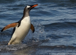gentoo-penguin-copyright-photographers-on-safari-com-9148