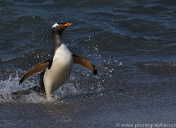 gentoo-penguin-copyright-photographers-on-safari-com-9149