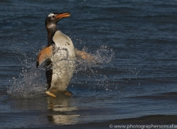 gentoo-penguin-copyright-photographers-on-safari-com-9150