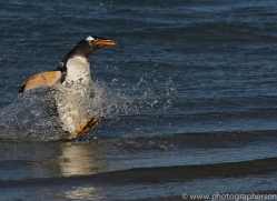 gentoo-penguin-copyright-photographers-on-safari-com-9151