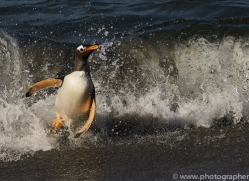 gentoo-penguin-copyright-photographers-on-safari-com-9152