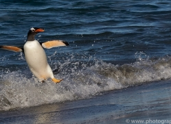 gentoo-penguin-copyright-photographers-on-safari-com-9155