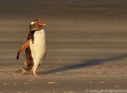 gentoo-penguin-copyright-photographers-on-safari-com-9157