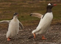 gentoo-penguin-copyright-photographers-on-safari-com-9158