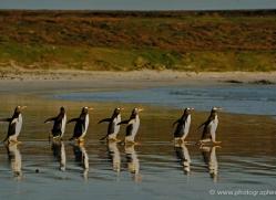 gentoo-penguin-falkland-islands-4866-copyright-photographers-on-safari-com