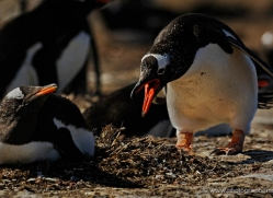 gentoo-penguin-falkland-islands-4867-copyright-photographers-on-safari-com