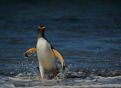 gentoo-penguin-falkland-islands-4868-copyright-photographers-on-safari-com