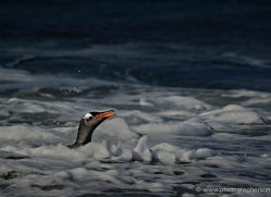 gentoo-penguin-falkland-islands-4872-copyright-photographers-on-safari-com