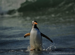 gentoo-penguin-falkland-islands-4873-copyright-photographers-on-safari-com