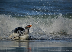 gentoo-penguin-falkland-islands-4874-copyright-photographers-on-safari-com