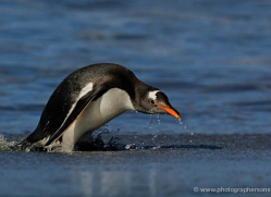 gentoo-penguin-falkland-islands-4876-copyright-photographers-on-safari-com