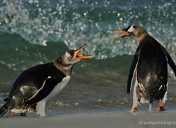 gentoo-penguin-falkland-islands-4879-copyright-photographers-on-safari-com