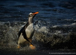 gentoo-penguin-falkland-islands-4881-copyright-photographers-on-safari-com