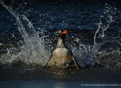 gentoo-penguin-falkland-islands-4882-copyright-photographers-on-safari-com