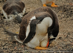gentoo-penguin-falkland-islands-4884-copyright-photographers-on-safari-com