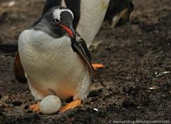 gentoo-penguin-falkland-islands-4887-copyright-photographers-on-safari-com