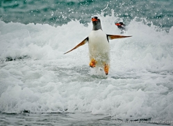 gentoo-penguin-falkland-islands-4894-copyright-photographers-on-safari-com