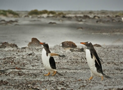 gentoo-penguin-falkland-islands-4898-copyright-photographers-on-safari-com