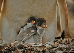 gentoo-penguin-falkland-islands-4900-copyright-photographers-on-safari-com