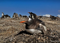 gentoo-penguin-falkland-islands-4901-copyright-photographers-on-safari-com
