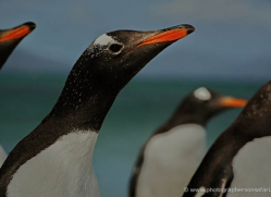 gentoo-penguin-falkland-islands-4904-copyright-photographers-on-safari-com