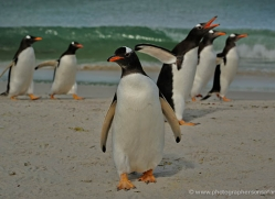 gentoo-penguin-falkland-islands-4905-copyright-photographers-on-safari-com