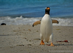 gentoo-penguin-falkland-islands-4906-copyright-photographers-on-safari-com