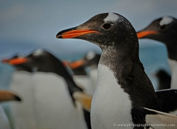 gentoo-penguin-falkland-islands-4907-copyright-photographers-on-safari-com