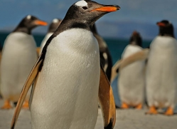 gentoo-penguin-falkland-islands-4911-copyright-photographers-on-safari-com