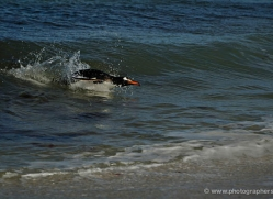 gentoo-penguin-falkland-islands-4914-copyright-photographers-on-safari-com