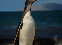 gentoo-penguin-falkland-islands-4915-copyright-photographers-on-safari-com