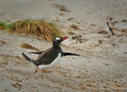gentoo-penguin-falkland-islands-4919-copyright-photographers-on-safari-com