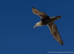 giant-petrel-falkland-islands-4976-copyright-photographers-on-safari-com