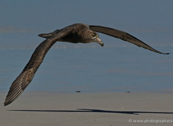 giant-petrel-falkland-islands-4978-copyright-photographers-on-safari-com