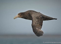 giant-petrel-falkland-islands-4979-copyright-photographers-on-safari-com