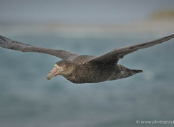 giant-petrel-falkland-islands-4980-copyright-photographers-on-safari-com