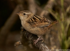 grass-wren-copyright-photographers-on-safari-com-9159
