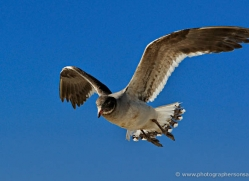 gull-falkland-islands-5029-copyright-photographers-on-safari-com
