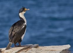imperial-cormorant-copyright-photographers-on-safari-com-9162