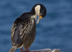 imperial-cormorant-copyright-photographers-on-safari-com-9163