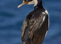 imperial-cormorant-copyright-photographers-on-safari-com-9164