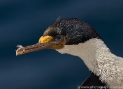 imperial-cormorant-copyright-photographers-on-safari-com-9166
