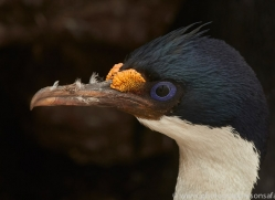 imperial-cormorant-copyright-photographers-on-safari-com-9170