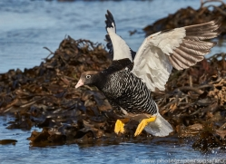 kelp-goose-copyright-photographers-on-safari-com-9175