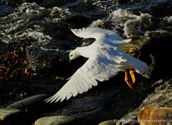 kelp-goose-falkland-islands-4994-copyright-photographers-on-safari-com